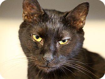 Domestic Shorthair Cat for adoption in Sarasota, Florida - Lexington