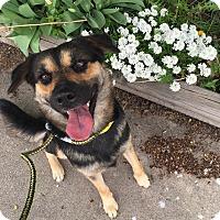 Adopt A Pet :: GRETCHEN - Littleton, CO