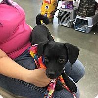 Adopt A Pet :: Onyx - Poway, CA