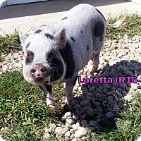 Adopt A Pet :: Loretta - Tiffin, OH
