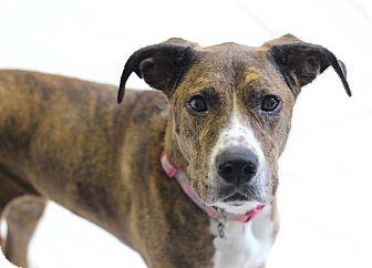 Boxer/Greyhound Mix Dog for adoption in Bradenton, Florida - Infinity