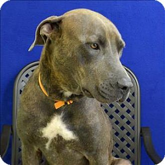 Catahoula Leopard Dog/Great Dane Mix Dog for adoption in Fort Davis, Texas - Cass