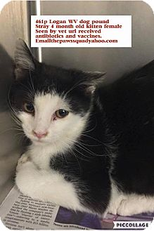 Domestic Mediumhair Kitten for adoption in Chapmanville, West Virginia - Sept C kitten
