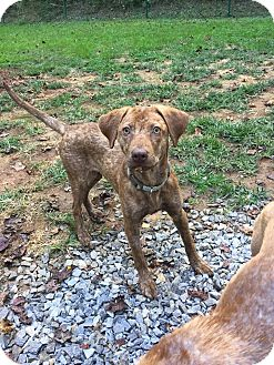 Catahoula Leopard Dog/Vizsla Mix Puppy for adoption in Arden, North Carolina - Callie