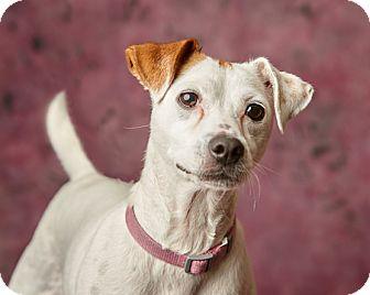 Jack Russell Terrier Mix Dog for adoption in Harrisonburg, Virginia - Winifred