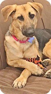 German Shepherd Dog/Labrador Retriever Mix Dog for adoption in Berkeley Heights, New Jersey - Jersie