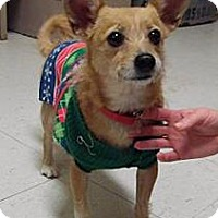 Chihuahua Mix Dog for adoption in Bellbrook, Ohio - Foxy