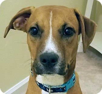 Boxer/Pug Mix Dog for adoption in Spring Valley, New York - Jack