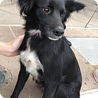 Adopt A Pet :: Licorice - Dana Point, CA