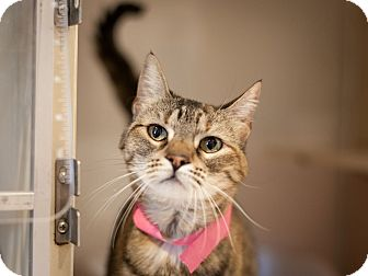 Domestic Shorthair Cat for adoption in Dallas, Texas - Lacy Lou