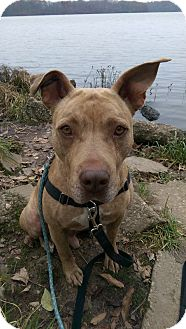 Staffordshire Bull Terrier Mix Dog for adoption in Jerseyville, Illinois - Thor
