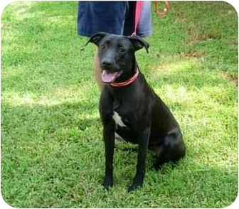 Boxer/Labrador Retriever Mix Dog for adoption in Kingwood, Texas - Jewel