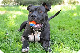 American Pit Bull Terrier Mix Dog for adoption in Mission Viejo, California - Baby (courtesy listing)
