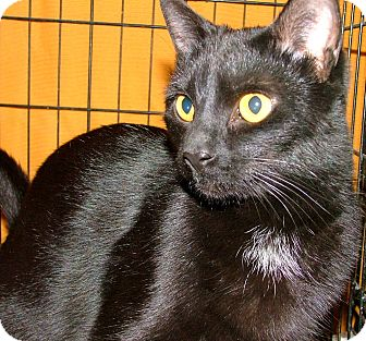 Domestic Shorthair Cat for adoption in Chattanooga, Tennessee - Lil Bit