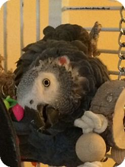 African Grey for adoption in St. Louis, Missouri - Peanut