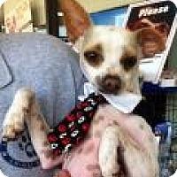 Adopt A Pet :: Pinto - Summerville, SC