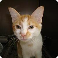 Domestic Shorthair Cat for adoption in Miami, Florida - Mercury