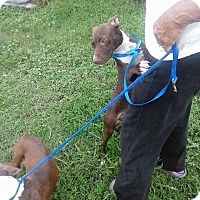 Italian Greyhound/Staffordshire Bull Terrier Mix Dog for adoption in North, Virginia - Thelma / Louise