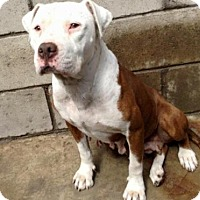 Pit Bull Terrier Dog for adoption in Orange, California - Triss