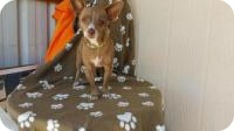 Chihuahua Mix Dog for adoption in Elk Grove, California - AZZA