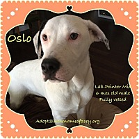 Labrador Retriever/Pointer Mix Dog for adoption in Houston, Texas - Oslo