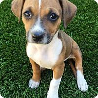 Adopt A Pet :: March Madness Pup - Cardinal - Adopted! - San Diego, CA