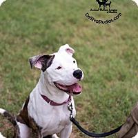Adopt A Pet :: Mercy - Alexandria, VA