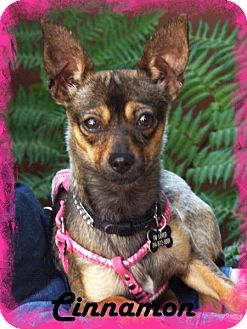 Chihuahua Dog for adoption in Anaheim Hills, California - Cinnamon