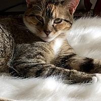 "Domestic Shorthair Kitten for adoption in Beaufort, South Carolina - Winnipeg ""Winnie"""