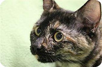 Domestic Shorthair Kitten for adoption in Lincoln, California - Belva