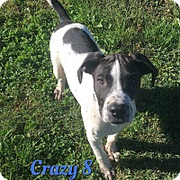 Adopt A Pet :: Crazy 8 - Cheney, KS