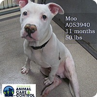 Adopt A Pet :: Moo - St. Louis, MO