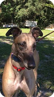 Greyhound Dog for adoption in West Palm Beach, Florida - Kaitlyn
