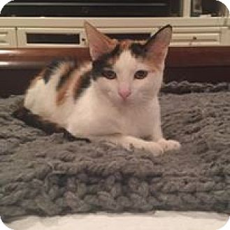 Domestic Shorthair Kitten for adoption in Mission Viejo, California - Zoe