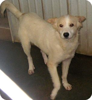 Shepherd (Unknown Type) Mix Dog for adoption in Tahlequah, Oklahoma - David