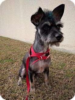Standard Schnauzer/Poodle (Miniature) Mix Dog for adoption in Helotes, Texas - Gizmo