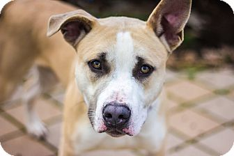 Hamilton Hound Mix Hamilton | Adopted Dog...