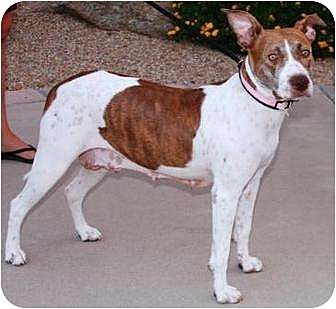German Shorthaired Pointer/American Pit Bull Terrier Mix Dog for adoption in Gilbert, Arizona - Roxy