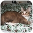Photo 1 - Domestic Shorthair Cat for adoption in Santa Rosa, California - Pegasus
