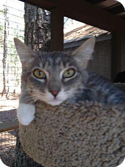 Manx Cat for adoption in Monroe, Georgia - Laney