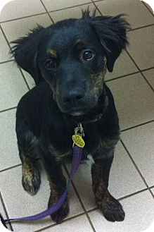 Retriever (Unknown Type)/Flat-Coated Retriever Mix Puppy for adoption in Brattleboro, Vermont - Bronx