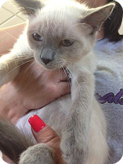 Siamese Kitten for adoption in Byron Center, Michigan - Vanilla Bean