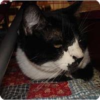Adopt A Pet :: Slinky DECLAWED - Chesapeake, VA