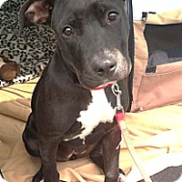 Adopt A Pet :: Violet - North Olmsted, OH