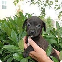 Adopt A Pet :: Kianna - Adoption Pending - Albany, NY