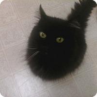 Adopt A Pet :: Gato Sammy - Laguna Woods, CA
