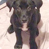 Adopt A Pet :: Midge - Cincinnati, OH