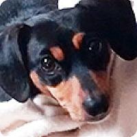 Adopt A Pet :: Dax - Durham, NC