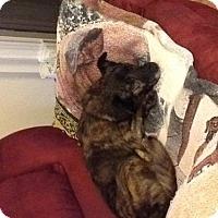 Dachshund/Welsh Corgi Mix Dog for adoption in Jacksonville, Florida - Chrissy - Courtesy