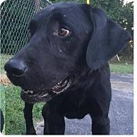 Adopt A Pet :: Viper - Springdale, AR